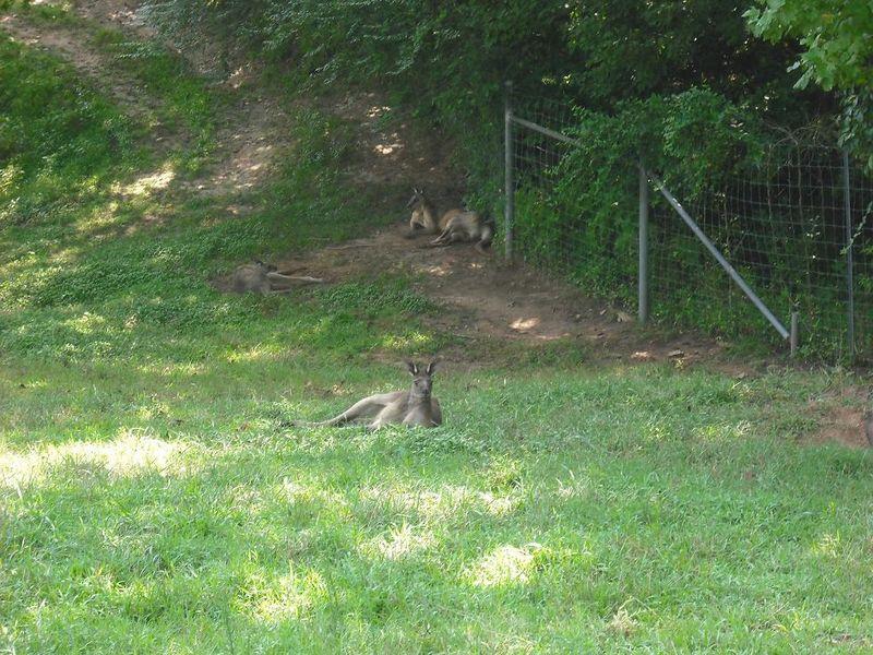 Kangaroos 018.jpgrs