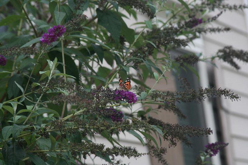 Butterflies 005.jpgrs