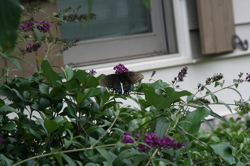 Butterflies 012.jpgrs