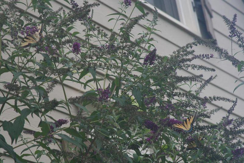 Butterflies 003.jpgrs