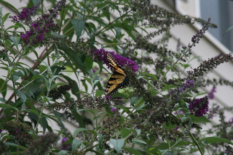 Butterflies 009.jpgrs