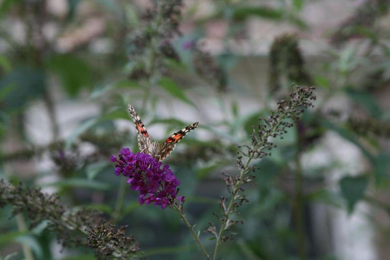Butterflies 026.jpgrs