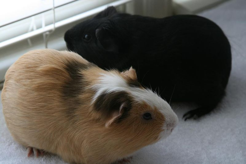 Pigs 020.jpg rs