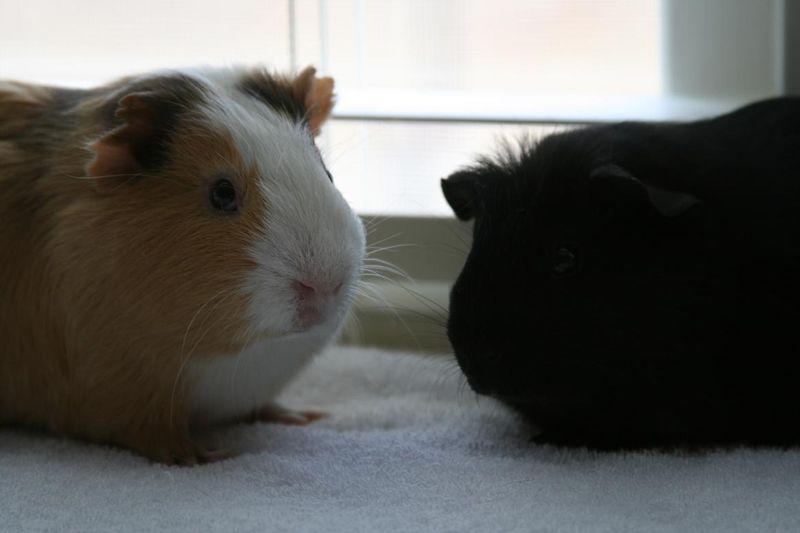 Pigs 026.jpg rs